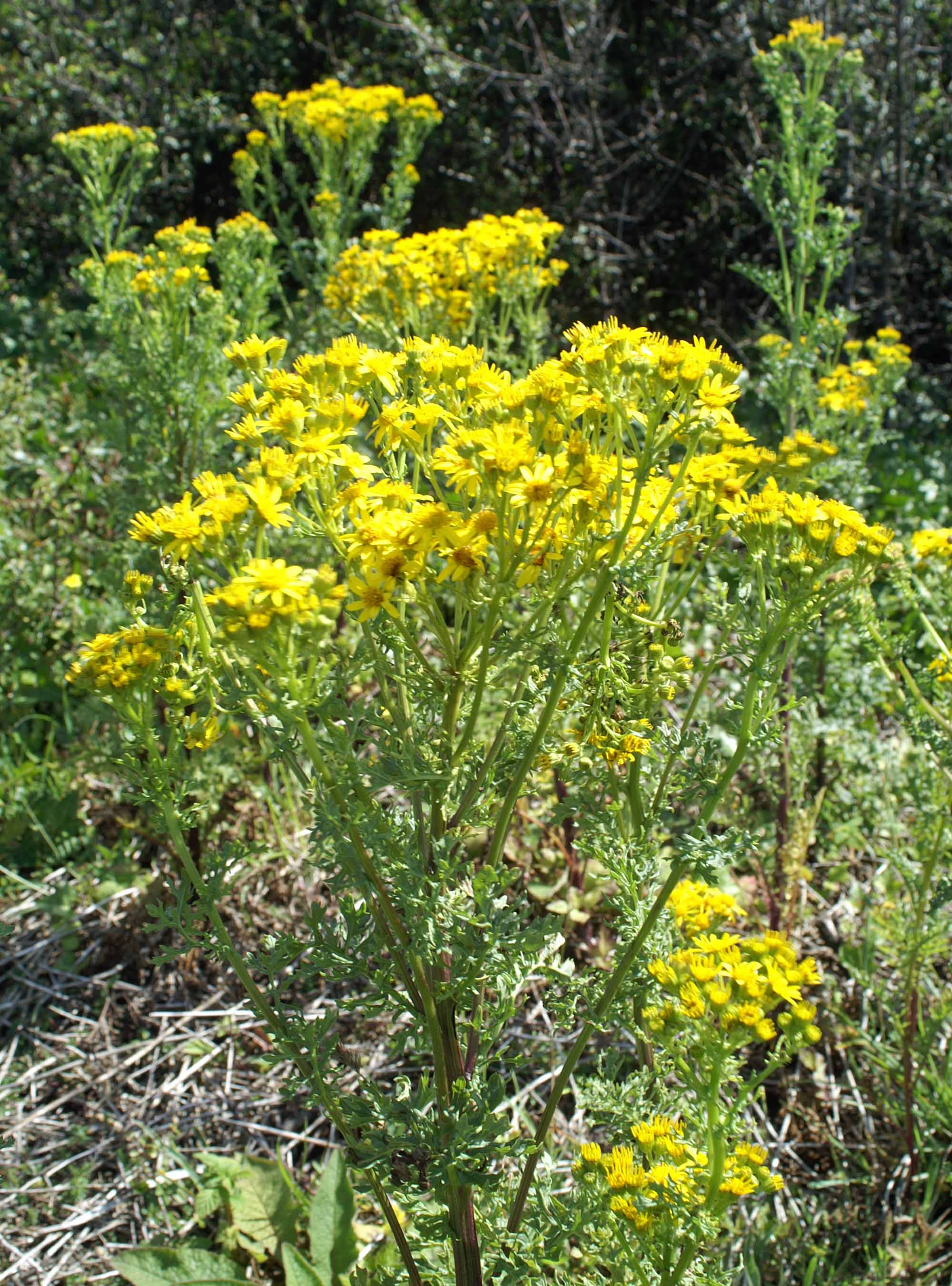 Wild Plant With Golden Yellow Flowers Nightingale Trails