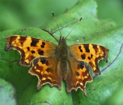 070724-Nevern, Pembrokeshire -Comma showing off the unusually shaped wings