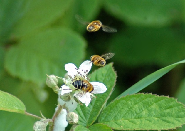 Eristalis nemorum-males hovering above a female