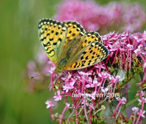 A Dark green fritillary feeding on red valerian - note the spotted eyes