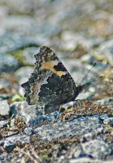 19/7/13-Small Tortoishell underside. Butterfly well camouflaged on stone pathway of Little Orme.