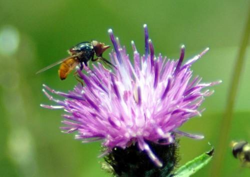140804TGNW-Hoverfly-Rhingia campestris-Bryn Euryn