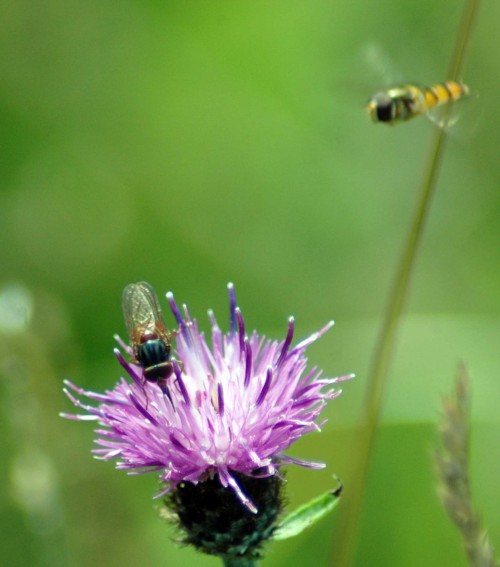 140804TGNW-Hoverfly-Rhingia campestris & marmalade fly coming in-Bryn Euryn