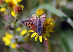 140831TGNW-Small Copper on ragwort 1-Bryn Pydew
