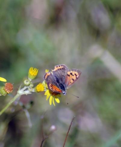 31/8/14-Small Copper on ragwort-Bryn Pydew