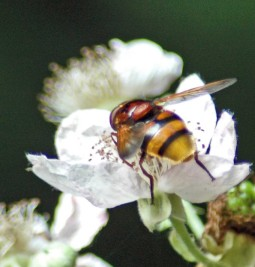 150710tg-Bryn Euryn-hvfly-Volucella zonaria 3