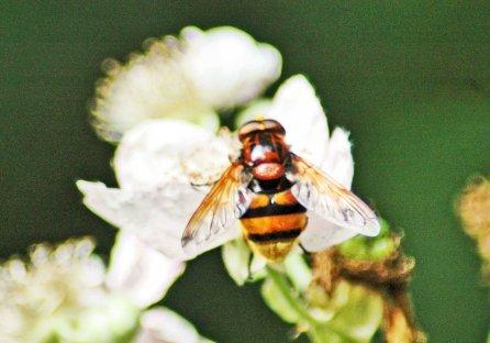 10/7/15-volucella zonaria-Bryn Euryn-woodland trail