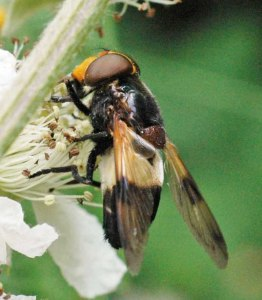 Volucella pellucens showing white band extends around abdomen