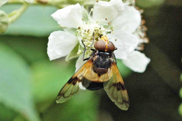 12/7/15-Volucella pellucens-Bryn Euryn