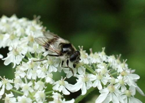 3/8/15-Cheilosia illustrata -Bryn Euryn woodland Trail