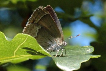 Purple Hairstreak-Favonius quercus-Bryn Euryn