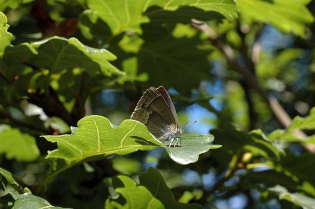 7/8/15-Purple hairstreak on Oak leaf