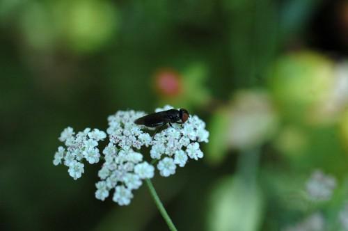 150807-Bryn Euryn 3-Small black hoverfly