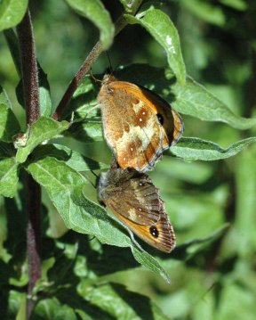 7/8/15-Mating Gatekeepers-female on top