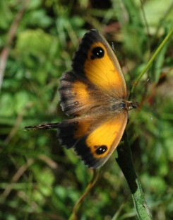 7/8/15-Gatekeeper female