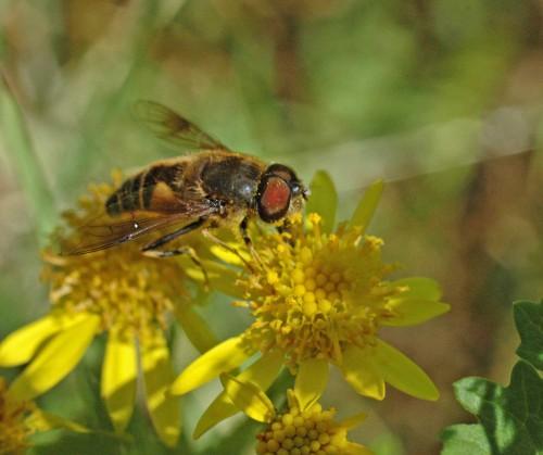 7/8/15-Eristalis pertinax (male)- Bryn Euryn-on ragwort
