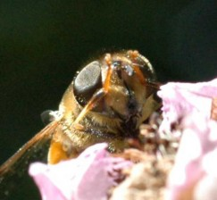 Eristalis pertinax face- narrw black shining stripe set in broad, dull darkened area