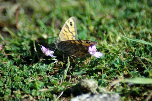150916-Little Orme 12a-Wall Brown on cranesbill