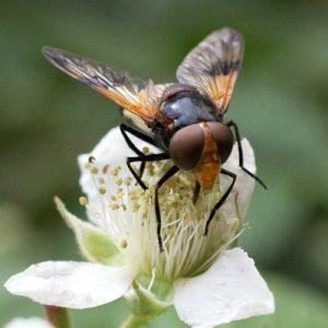 160623-Bryn Euryn 1339-55-Volucella pellucens– Pellucid Fly (3)