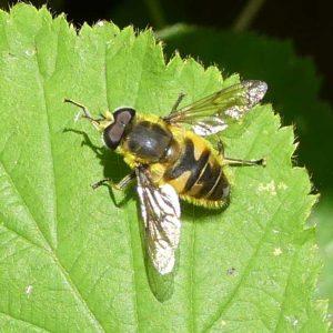 160703-Bryn Euryn (3) HVFLY-Myathropa florea