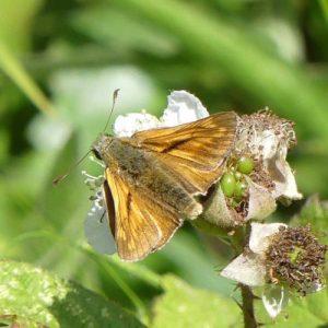 Large Skipper (male)