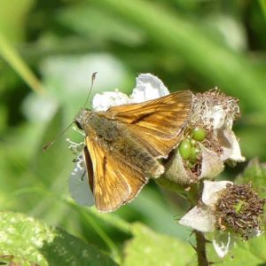 Large Skipper (male)