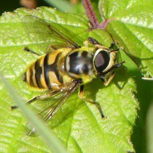160703-Bryn Euryn (92a) HVFLY-Myathropa florea