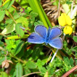 160714-Gt Orme 46-West Shore-Silver-studded blue