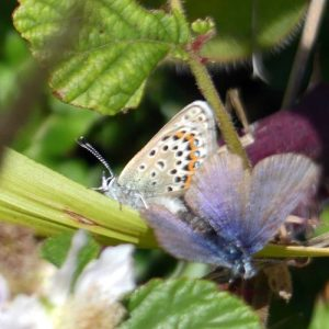 160714-Gt Orme 96-West Shore-Silver-studded Blues mating