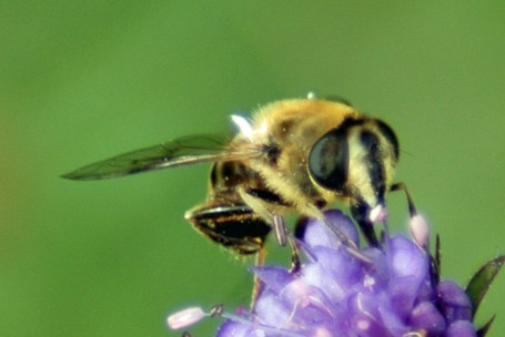 2012-9-1-TGNW-Eristalis sp hoverfly feeding on scabious