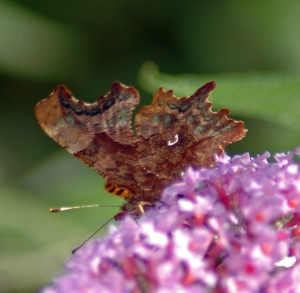 2/9/12-Comma on buddleia showing the ragged outline of the wings and the distinctive white comma-shaped mark on the hindwing-Rhos-on-sea