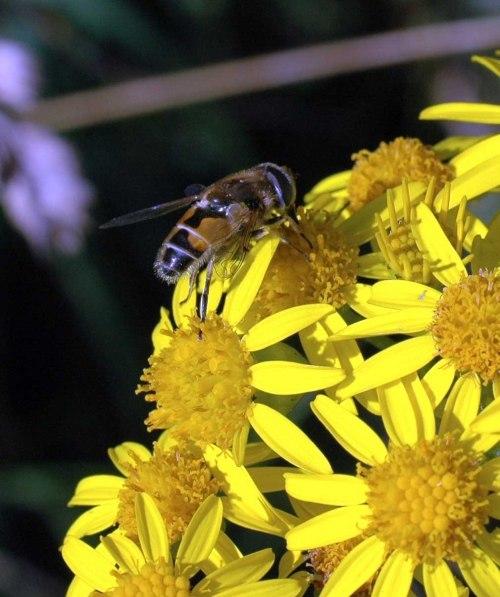 8-1812TGNW-Little Orme -Eristalis arbustorum on ragwort