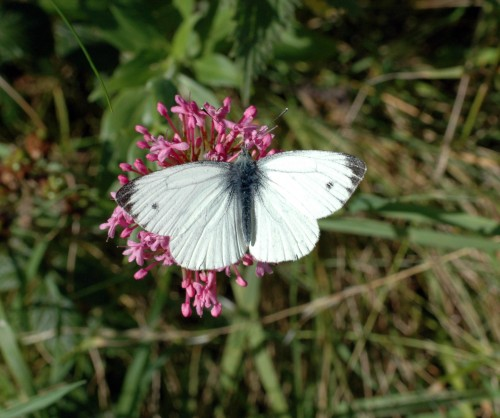 8-1812TGNW-Little Orme-Green-veined White