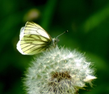 Green-veined white on a dandelion clock. Nevern, Pembrokeshire