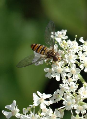 SYR-Episyrphus balteatus -Marmalade fly- Bryn Pydew-2012-9-1 (2)