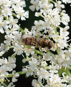 1/9/12 Marmalade fly-Episyrphus balteus-Bryn Pydew