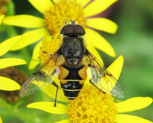 eristalis horticola has a distinctive dark mark across centre of wing
