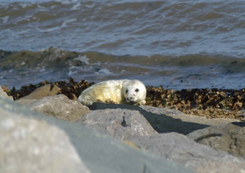 Alone on the seashore the baby seal looked very small and vulnerable