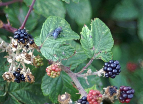 22/8/11-Bluebottle fly on blackberries