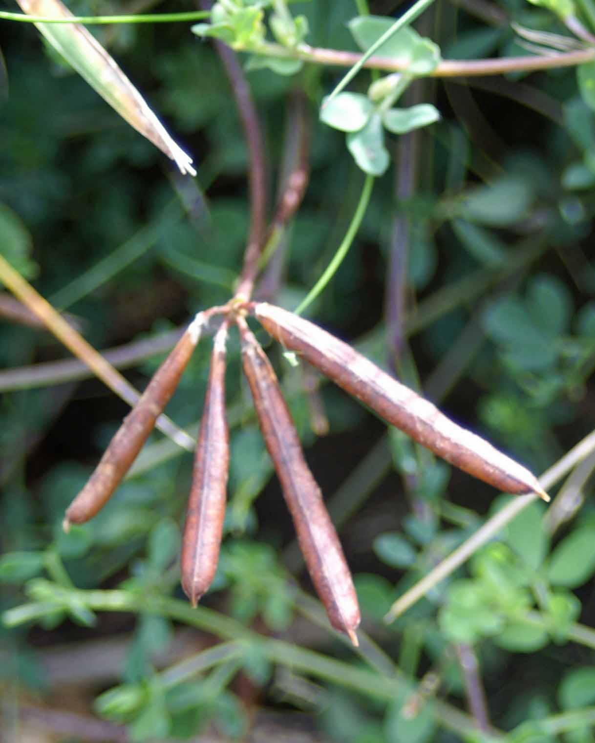 bird's foot trefoil seedpods | everyday nature trails