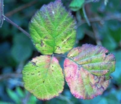 September - Bramble leaves
