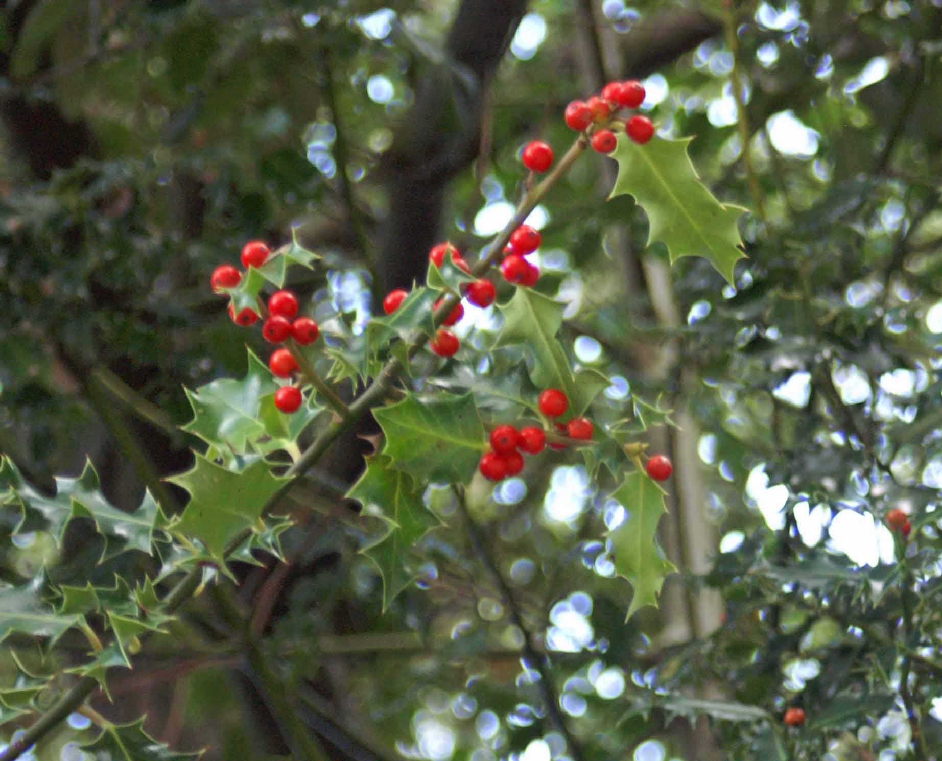 Rowan Berries Everyday Nature Trails