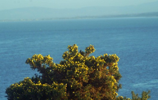 Golden gorse in bloom against a background of blue sea