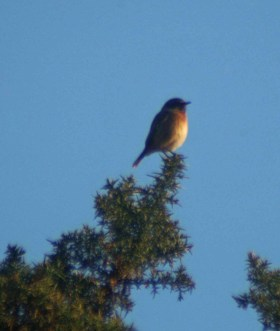 14/1/12 Stonechat - Saxicola torquata perched on gorse-Little Orme