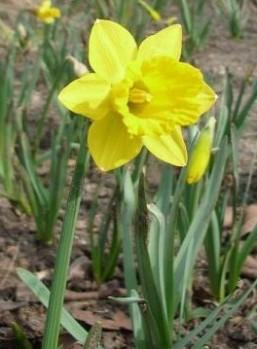 Tenby daffodil-Narcissus pseudonarcissus obvallaris