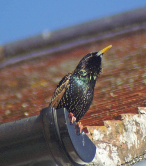 The starling was singing, hence the fluffed out throat feathers