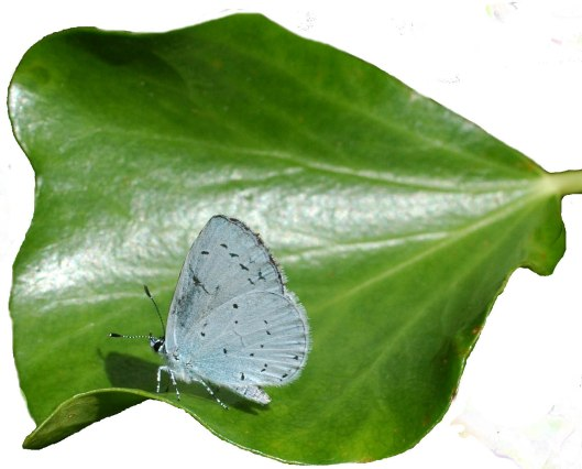 Holly Blue on an ivy leaf