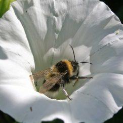 110724-Garden bumblebee in bindweed-flower