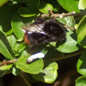 15/4/12-Red-tailed bumblebee queen