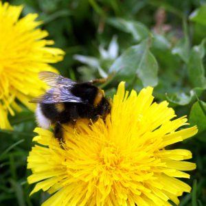 120427-white-tailed-bumblebee-on-dandelion